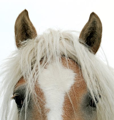 A palomino horse's ears and face with a long forelock