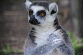 Lemur-Janice-L.-Blake-Your-Mane-Track